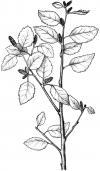 bříza nízká (Betula humilis)